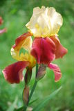 Iris rouge Photo libre de droits