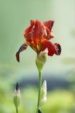 Iris rouge Photographie stock libre de droits