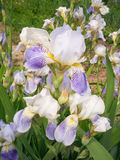 Iris's interesting flower. Charming flower of the Iris on a bed Stock Photo