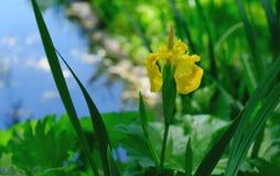 Iris salvaje cerca del lago en el parque Fotos de archivo