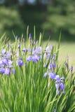 Iris sanguinea Lizenzfreie Stockbilder