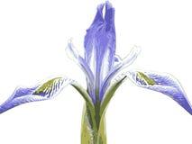 Iris sauvage 2 Photographie stock