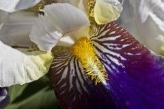 Iris - schöne dekorative Blumen Stockbild