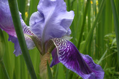 Iris sibérien Photographie stock