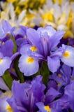 Iris sibérien Image libre de droits