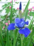 Iris sibérien images libres de droits