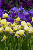 Iris sibérien bleu et jaune Photos libres de droits