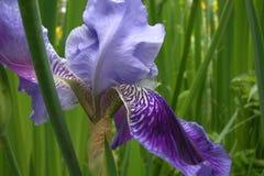 iris siberian Fotografia Stock