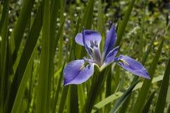 Iris, Siberian (I. sibirica) Stock Image