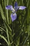 Iris, Siberian (I. sibirica) Royalty Free Stock Photo