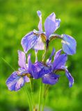 Purple and White Iris Flowers. Stock Photo
