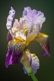 Iris siberiano en el backgruound verde Imagen de archivo libre de regalías