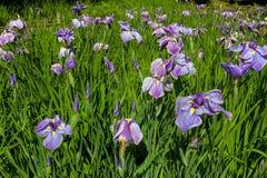 Iris siberianos púrpuras en la floración por el puente Imagen de archivo
