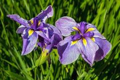 Iris siberianos púrpuras en primer de la floración Imágenes de archivo libres de regalías