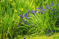 Iris siberica blaue Blumen nahe bei einem See Stockbilder