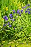 Iris siberica blaue Blumen nahe bei einem See Lizenzfreie Stockbilder