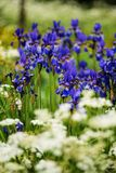 Iris siberica blue flowers. A group of Iris siberica blue flowers surrounded by wild carrot flowers, Finnish  countryside in the early summer Royalty Free Stock Image