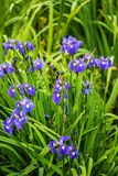Iris siberica blue flowers. Next to the water, Finnish countryside in the early summer Stock Images