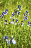 Iris sibirica. Flowers in a meadow in late spring royalty free stock images