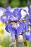 Iris Sibirica Fotografia Stock Libera da Diritti