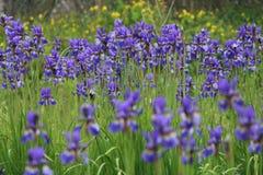 Iris Sibirica Fotografia Stock