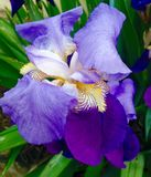 Iris sibirica Royalty Free Stock Photography