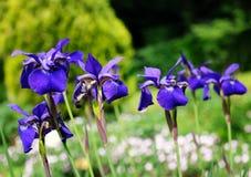 Iris sibirica Stock Images