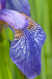 Iris Sibirica. Bloom of the Iris Sibirica Royalty Free Stock Photos