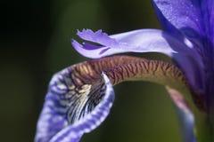 Iris sibirica in bloom, macro shot Stock Images