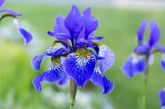 Iris sibirica in bloom, wild flowers. Iris sibirica in bloom, amazing blue and purple wild flowers royalty free stock images