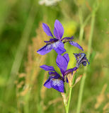 Iris sibirica. Blue flowers of wild Siberian Iris (Iris sibirica Stock Photo