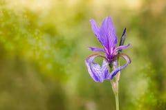 Iris sibirica in der Wiese Lizenzfreies Stockfoto