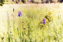 Iris sibirica in der Wiese Stockfoto