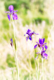 Iris sibirica in der Wiese Stockbild