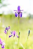 Iris sibirica in der Wiese Lizenzfreies Stockbild