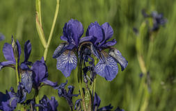 Iris sibirica in green grass. In spring sunny day Royalty Free Stock Photo