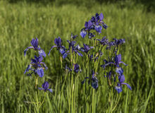 Iris sibirica in green grass. In spring sunny day Stock Photography