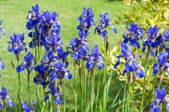 Iris Sibirica III Stockfoto
