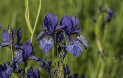 Iris sibirica im grünen Gras Lizenzfreies Stockfoto