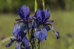 Iris sibirica im grünen Gras Stockbilder