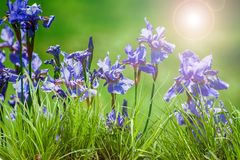 Iris sibirica. On a natural background royalty free stock image
