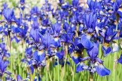 Iris Sibirica IX Royalty Free Stock Photo