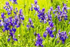 Iris sibirica L Stockfotos