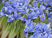 Iris sibirica Royalty Free Stock Photos