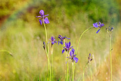 Iris sibirica in the meadow. Iris sibirica, commonly known as Siberian iris or Siberian flag, growing in the meadow close to the Dnieper river in Kiev, Ukraine Stock Image