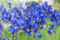 Iris Sibirica. The Siberian Iris or Siberian flag Royalty Free Stock Image