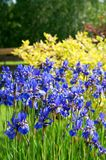 Iris Sibirica VIII Stock Afbeelding