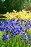 Iris Sibirica VIII Stock Image