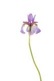Iris sibérien pourpré Photo libre de droits