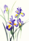 Iris sketch watercolor Royalty Free Stock Photography